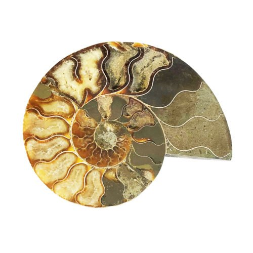 ammonite-pair